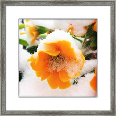 Orange Spring Flower With Snow Framed Print
