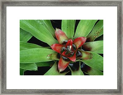 Orange Star Bromeliad Framed Print by Gerry Ellis