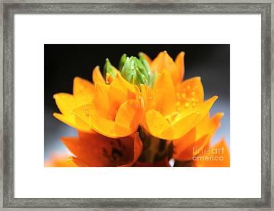 Orange Star Framed Print by Krissy Katsimbras