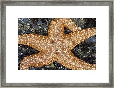 Orange Starfish Sprawl Framed Print by Sarah Crites