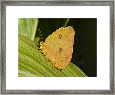 Orange Sulphur Framed Print by Krista Keck