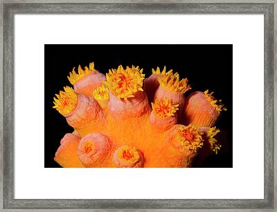 Orange Sun Coral Framed Print by Nigel Downer