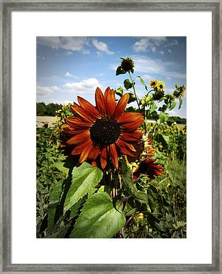 Orange Sunflower Framed Print by Nafets Nuarb