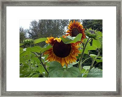 Orange Sunflowers Framed Print