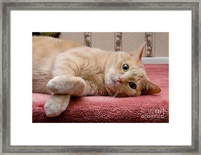 Orange Tabby Cat Lying Down Framed Print by Amy Cicconi