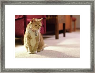 Orange Tabby Housecat Stares Framed Print by Matt Freedman