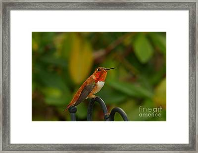 Orange Throated Hummingbird Framed Print