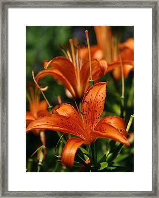 Orange Tiger Lilies Framed Print by Robert Lozen