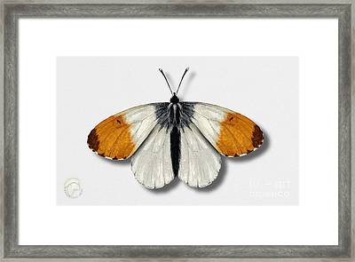 Orange Tip Butterfly - Anthocharis Cardamines Naturalistic Painting - Nettersheim Eifel Framed Print