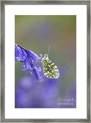 Orange Tip Butterfly Framed Print by Tim Gainey