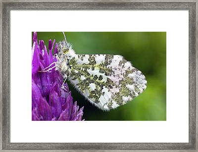 Orange Tip Framed Print by Dr Jeremy Burgess