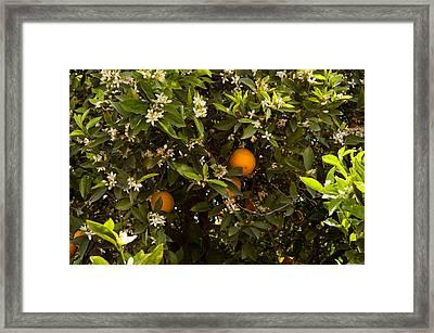 Orange Trees In An Orchard, Santa Framed Print