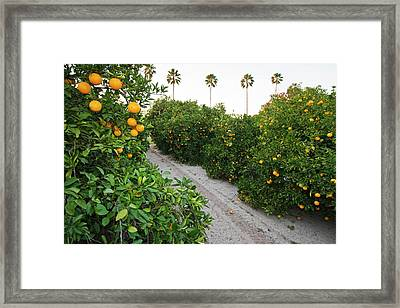 Orange Trees In Grove, Mission, Texas Framed Print by Larry Ditto