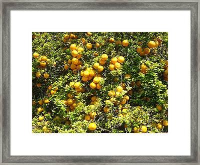 Orange Trees Framed Print by Mark Barclay