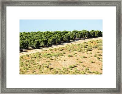 Orange Trees Near Bakersfield Framed Print
