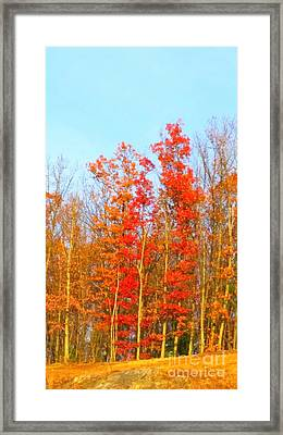 Orange Trees.  Framed Print
