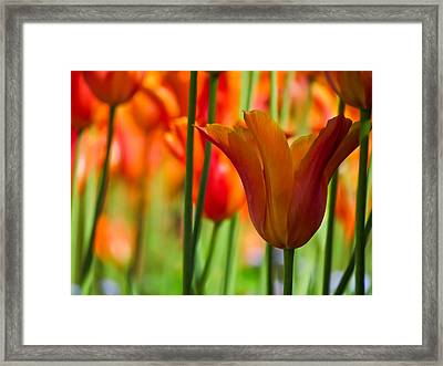 Orange Tulip Garden Framed Print