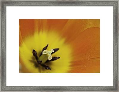 Orange Tulip Macro Framed Print by Lesley Rigg