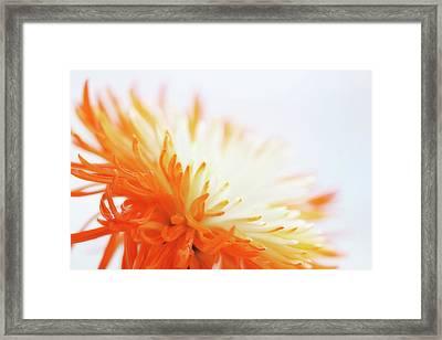 Orange Whisper Framed Print by Lisa Knechtel