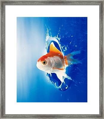Orange, Yellow And White Fish Flying Framed Print