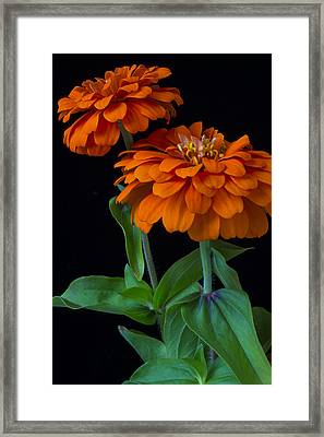 Orange Zinnia Framed Print by Garry Gay