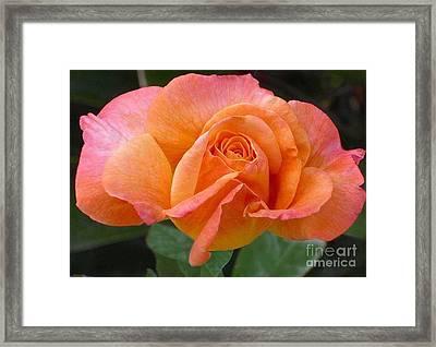 Orangerine Rose Framed Print