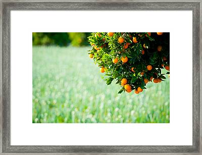Oranges On A Tree, Santa Paula, Ventura Framed Print