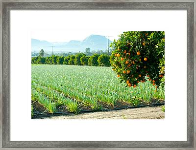 Oranges On A Tree With Onions Crop Framed Print by Panoramic Images
