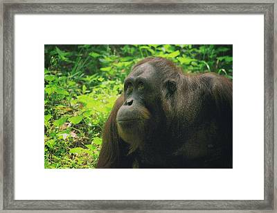 Framed Print featuring the photograph Orangutan by Dennis Baswell