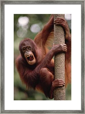 Orangutan Hanging On Tree Framed Print by Gerry Ellis