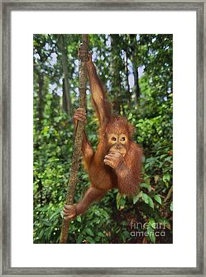 Orangutan  Framed Print by Frans Lanting MINT Images