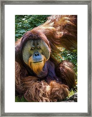 Orangutan Framed Print by Rob Amend