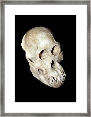 Orangutan Skull Framed Print