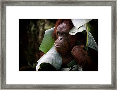 Framed Print featuring the photograph Orangutan by Zoe Ferrie