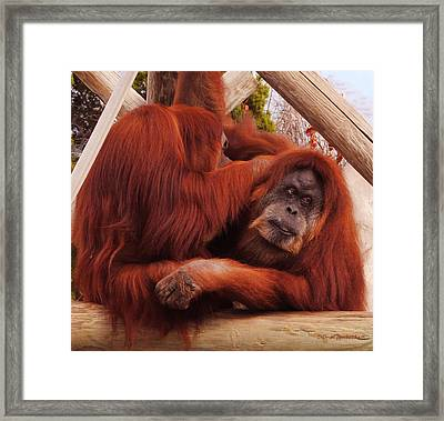 Orangutans Grooming Framed Print by DiDi Higginbotham