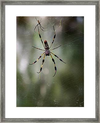Framed Print featuring the photograph Orb Weaver 006 by Chris Mercer
