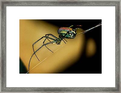Orb Weaver Framed Print