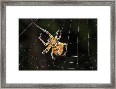 Orb-weaver Spider In Web Panguana Framed Print by Konrad Wothe