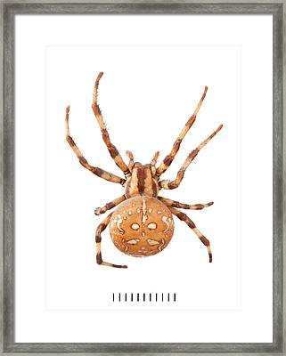 Orb Web Spider Framed Print by Natural History Museum, London