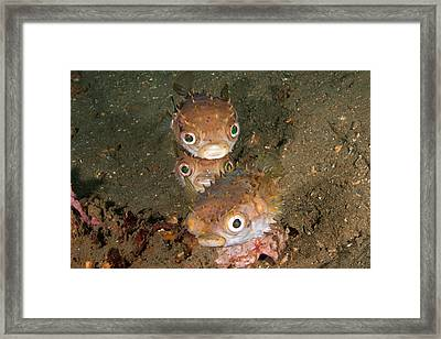 Orbicular Burrfish Framed Print by Andrew J. Martinez