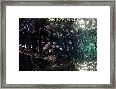 Orbiculate Cardinalfish Swiming Framed Print