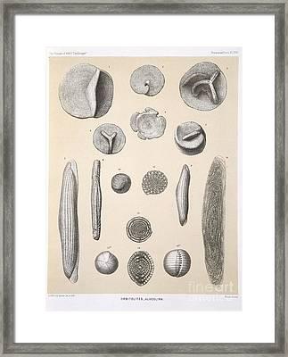 Orbitolites Foraminifera, Hms Challenger Framed Print