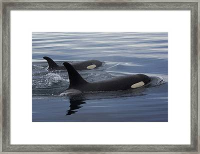 Orca And Calf Surfacing Prince William Framed Print