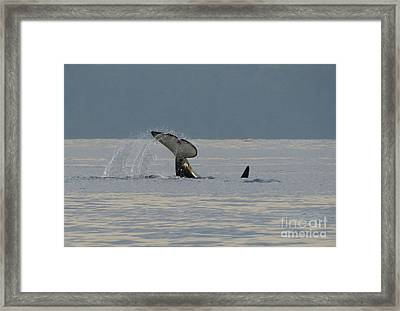 Orca At Sunset Framed Print by Gayle Swigart