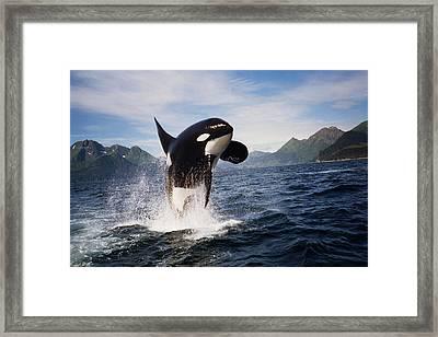 Orca Breach Framed Print by Richard Johnson
