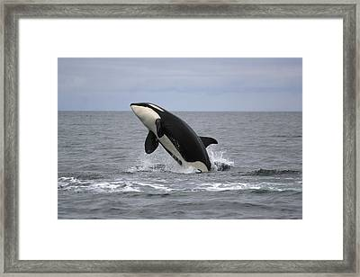 Orca Breaching Prince William Sound Framed Print