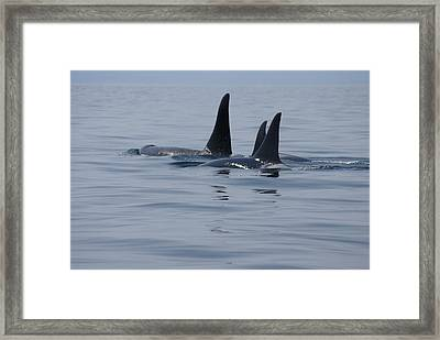 Orca Family Framed Print