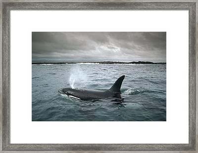 Orca Galapagos Islands Framed Print by Tui De Roy