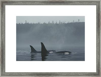 Orca Male And Female Surfacing Canada Framed Print