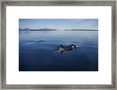 Orca Pair Surfacing Prince William Framed Print